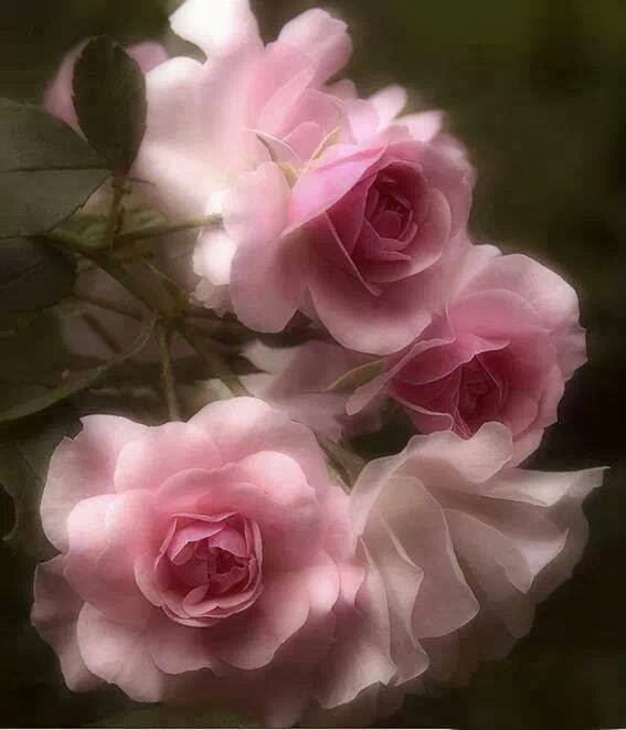 light pink rose wallpaper image