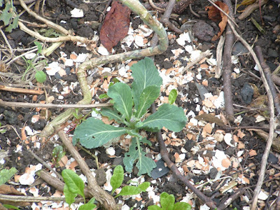A very small cabbage plant growing in a garden