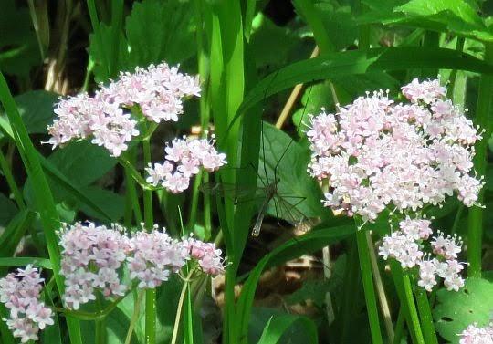 Kozłek całolistny (Valeriana simplicifolia Kabath).