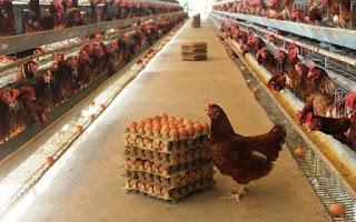 Ternak telur Ayam