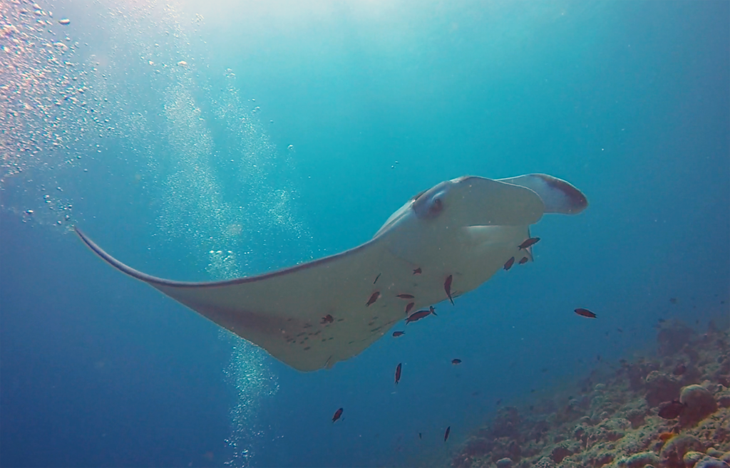 Euriental | fashion & luxury travel | scuba diving with manta rays in Maldives, Conrad