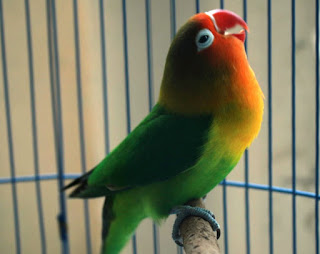 Burung Lovebird - Asumsi Perhitungan Laba dan Rugi Penangkaran Burung Lovebird - Penangkaran Burung Lovebird
