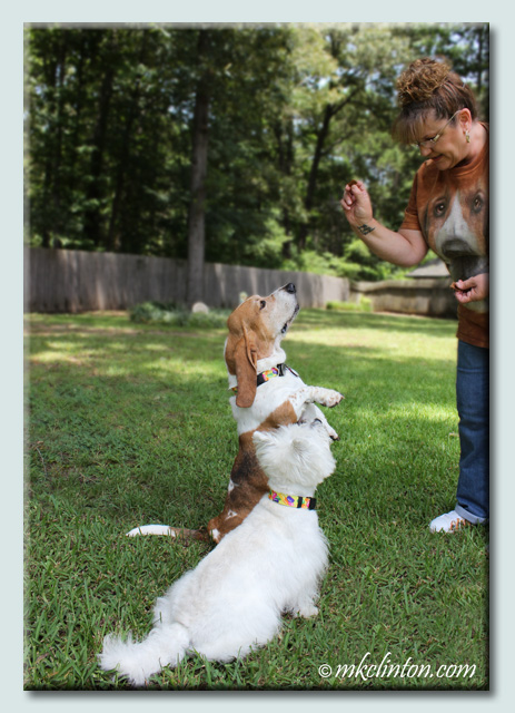 Basset Hound and Westie doing tricks for a treat