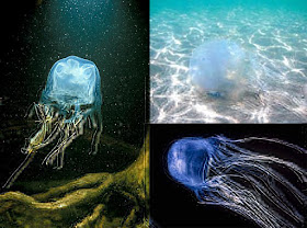 box-coffin-jellyfish