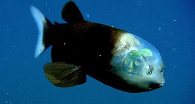 Ikan Barreleye