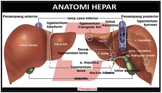Anatomi Hepar/ Hati