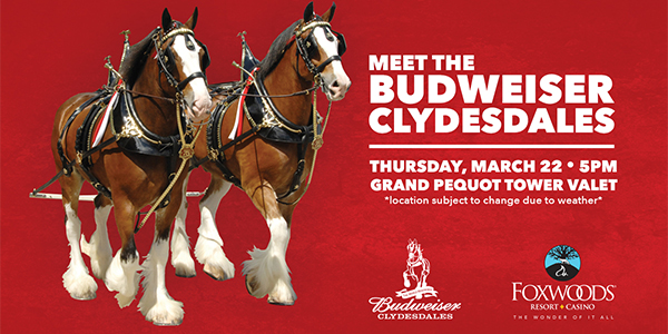 Foxwoods Resort Casino hosts the Budweiser Clydesdales