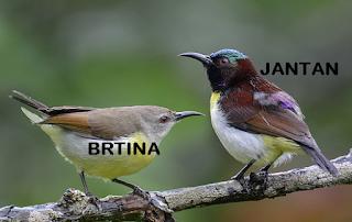 Suara Burung Purple-rumped sunbird
