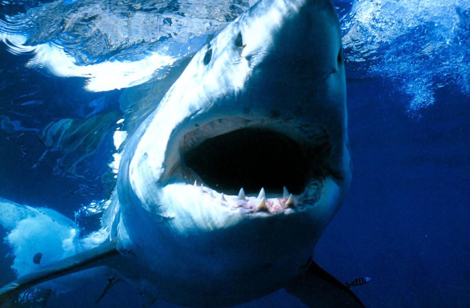 Great White Shark Wallpaper Cute Great White Shark Mouth Hd Wallpapers Images 2013 Top Hd