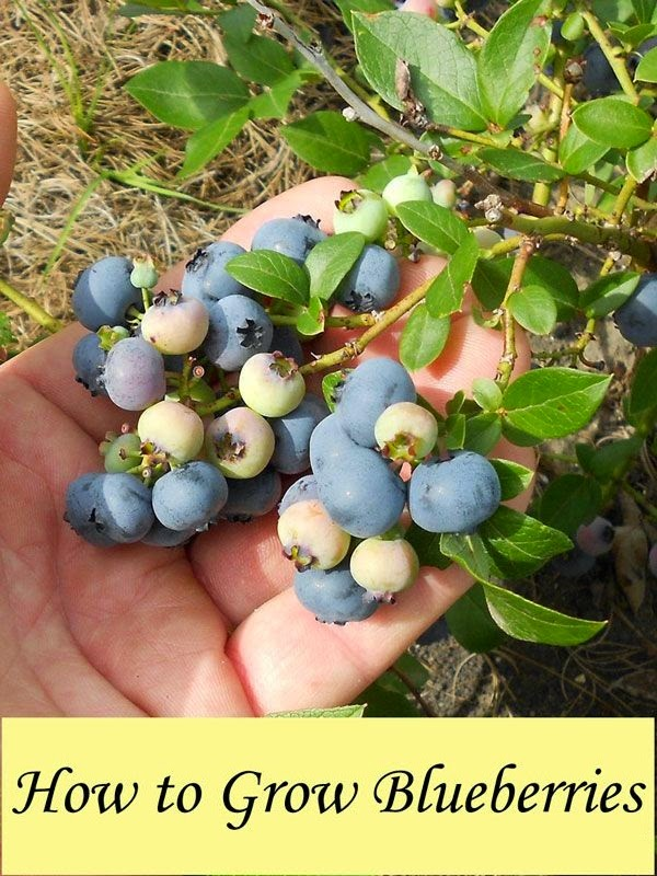 Blueberry incorporated business plan