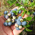 How To Grow Blueberries #Fruit_Gardening