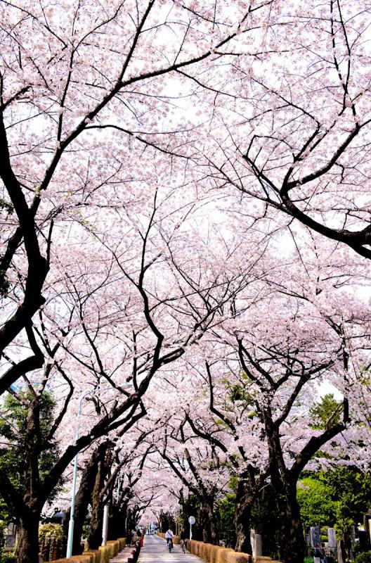 Cute Hello Kitty Sakura Flower Wallpaper Wallpapers Pc