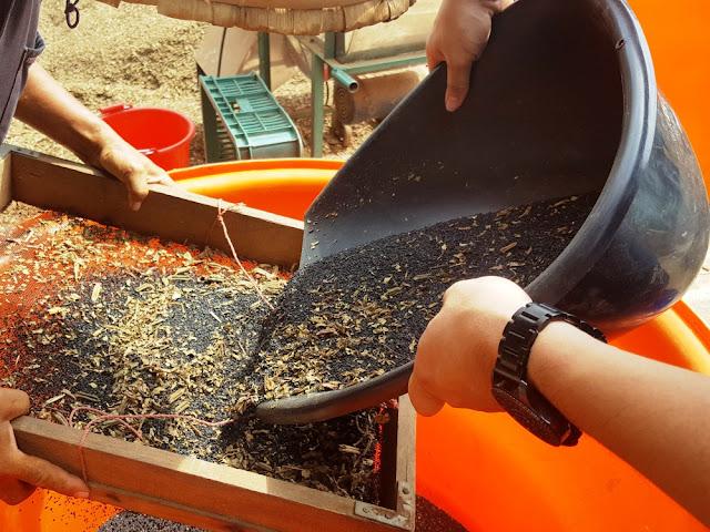 【菜脯埕】利用窗網先篩除黑芝麻豆莢及葉子