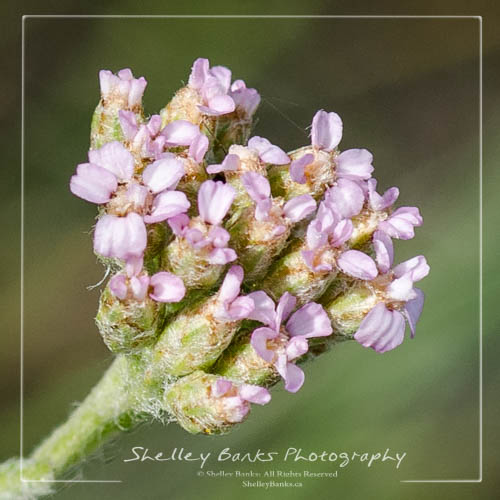 Yarrow - Achillea millefolium. Pink. Copyright © Shelley Banks, all rights reserved.
