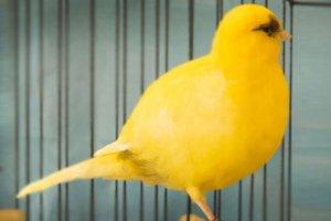 """Burung Kenari Border - Burung Kenari Border merupakan burung kenari yang paling polpuler setelah yoksering. Burung ini berasal dari jenis Cumberland Fancy, dan berasal dari perbatasan (border) antara inggis dan Skotlandia. Burung Kenari Border ini berbentuk serba """"bulat"""" dilihat dari sudut mana saja. Bentuk bulat dari burung ini sangat menentukan hasil penilaian di perlombaan yang digelar di luar negeri. Burung Kenari Border dijadikan sebagai """"Wee Gem"""" karena memiliki postur yang kecil, cantik, dan badan kokoh. Bulu burung kenari border sangat mengkilap. Burung Kenari Border ini paling banyak menampilkan warna kuning, meski juga ditemukan berwarna lain.        Ada sedikit catatan sejarah tentang Border Fancy Canary. Disebutkan dalam salah satu sumber bahwa kenari ini berevolusi dari kenari biasa pada akhir abad 17 hingga awal abad ke-18 di perbatasan Inggris dan Skotlandia. Nama dan standarisasi dari Kenari Border mulai diberlakukan pada tahun 1889 di Langholm, sebuah kota di perbatasan Inggris dan skotladia. Nama itu juga diresmikan bersamaan dengan berdirinya Border Fancy Canary Club pada 5 Juni 1890.   Ciri Ciri Kenari Border Ciri-ciri Border Fancy Canary diantaranya memiliki bentuk tubuh bulat yang unik. Meski pada awalnya kenari ini memiliki panjang tubuh sekitar 4,5 inchi, saat ini ukurannya sudah lebih besar, sekitar 5,5 inchi atau 14 cm.  Bulu dari Kenari Border pada umumnya berwarna kuning, namun mereka juga bisa ditemukan dengan bulu berwarna putih, kuning, hijau, coklat, dan lain-lain. Dalam ajang kontes, biasanya burung yang memiliki sedikit unsur warna merah pada bulu cenderung didiskualifikasi."""