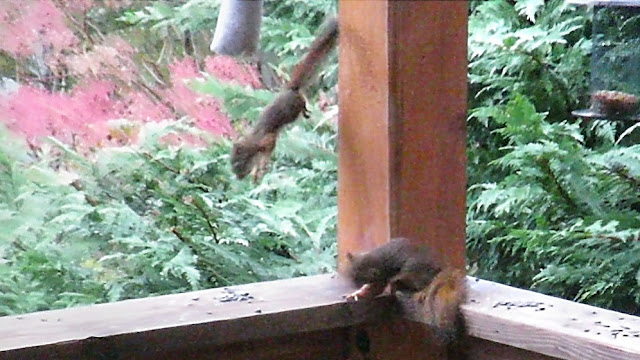 Red Squirrel Throws Little Half Brother off the Deck - Lesson Learned!
