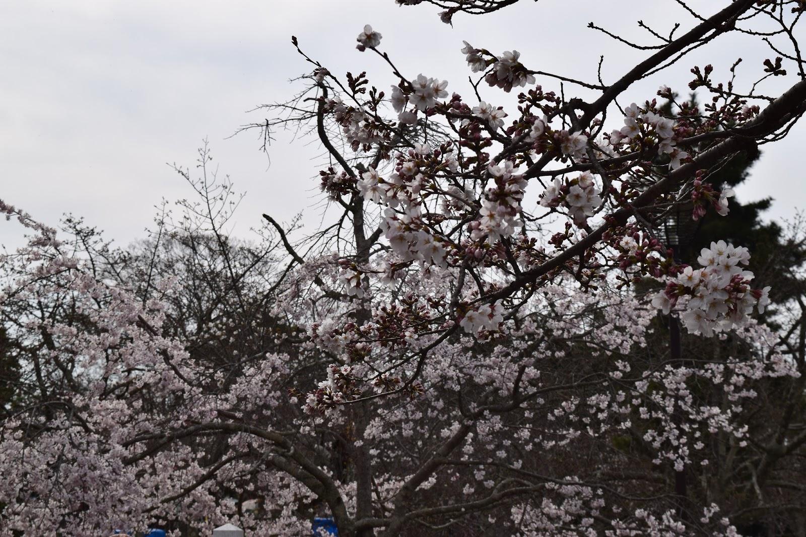 Maruyama Koen Kyoto