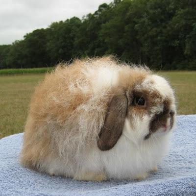 Pet Rabbit Breeds Singapore