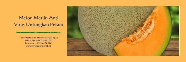 benih melon merlin,melon merlin,budidaya melon,tanaman melon,buah melon,buah melon merlin,lmga agro