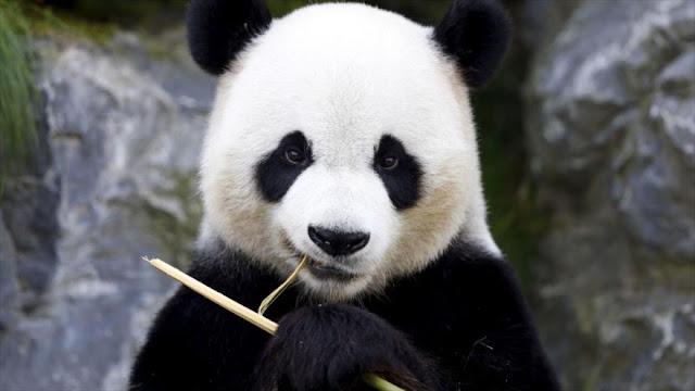 Una rara enfermedad blanquea las manchas negras de los pandas