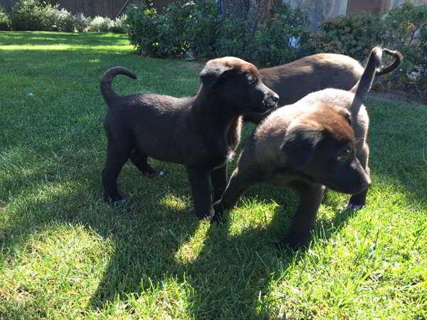 cachorros cruce labrador
