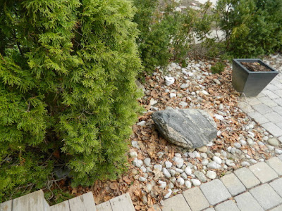 Mount Pleasant East Davisville Spring Front Garden Cleanup before by Paul Jung Gardening Services a Toronto Gardening Company