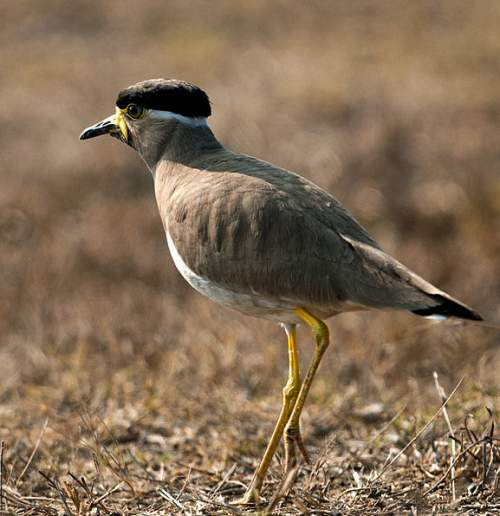 Indian birds - Picture of Yellow-wattled lapwing - Vanellus malabaricus