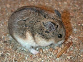 4 Jenis Hamster Dan Kepribadiannya