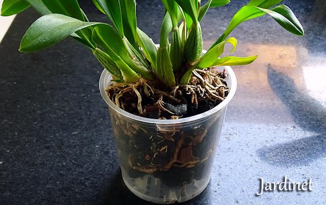 O que você deve saber antes de plantar sua orquídea no carvão