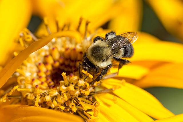 Nova Scotia; Bees; Garden: Flowers