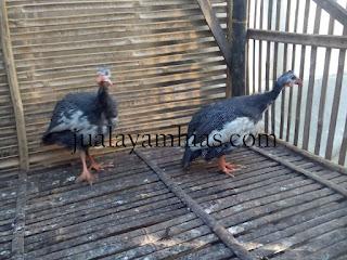 Ayam Mutiara Plangkok Usia 4 Bulan