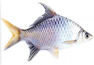 Resep umpan jitu ikan tawes
