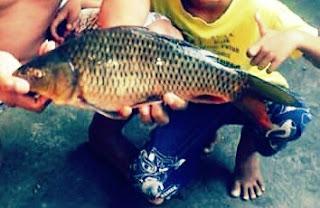 Resep Umpan Mancing Ikan Mas Pakai Pelet sederhana