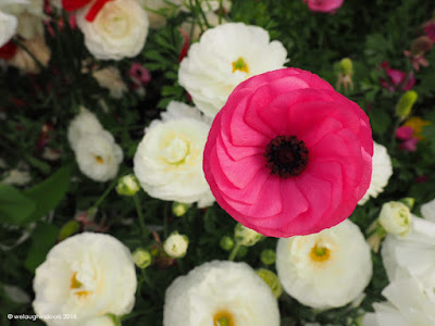 Pink Ranunculus by welaughindoors