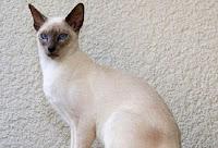 12 Jenis Kucing Paling Mahal Di Dunia Berkonten