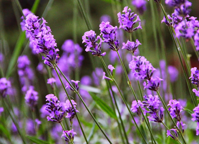 Lavandula angustifolia lavender Top+10+Amazing+Healing+Plants+for+Your+Garden - 新田のんのはパラクロスカントリー選手!プロフィールと学校情報や彼氏は?