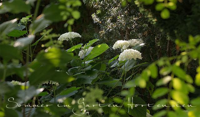 Die besten Hortensien für den Hausgarten, Pflanzenportrait, Lieblingspflanzen, Lieblingsgehölze, pflegeleichter Garten