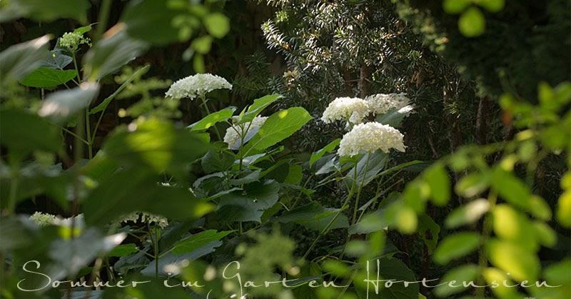 Gartenblog geniesser garten hortensien im garten for Hortensien garten anlegen
