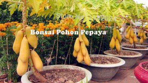 Bonsai Pohon Pepaya