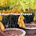 Cara membuat Bonsai Pohon Pepaya Berbuah lebat dan Perawatannya
