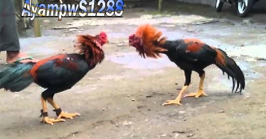 Cara Jitu Melatih Pukulan Ayam Aduan Keras, Cepat Dan Mematikan - Ayam pw S1288