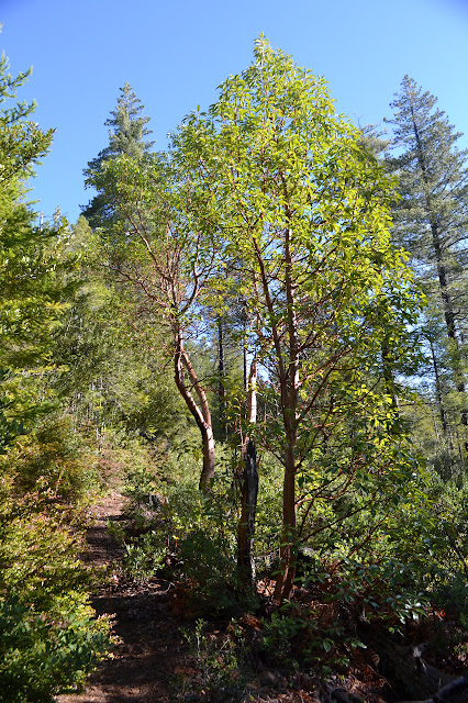 madrone along the trail