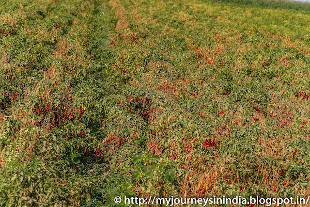 Chilli Fields Andhra