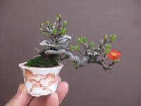 Chaenomels bonsaibark.com