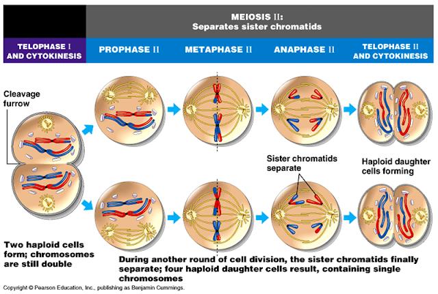 Siklus Dan Pembelahan Sel Lengkap Biologi Sel