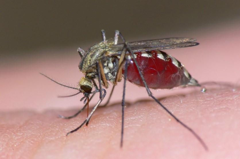 Fakta Ilmiah dan Unik tentang Nyamuk Betian menghisap darah
