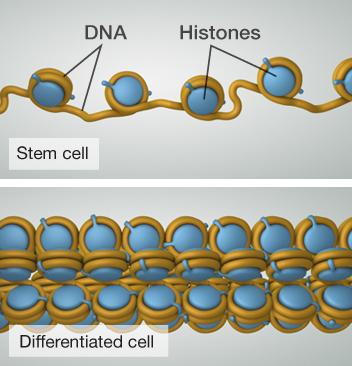 ما احتمالية استرجاع الخلايا الوظيفية إلى خلايا جذعية مرة أخرى؟