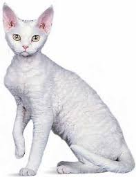 Kucing Devon Rex dan Karakteristiknya