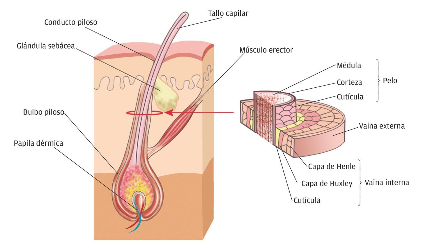 Anatomía y Fisiología: PELO