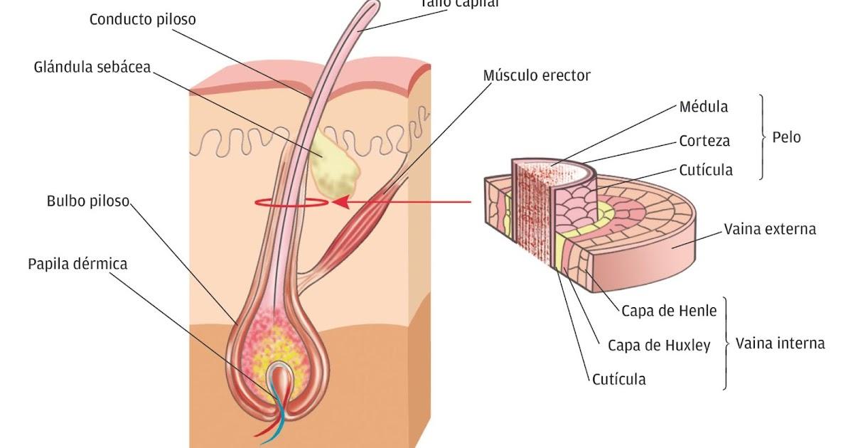 Increíble Anatomía Eje Del Pelo Festooning - Anatomía de Las ...